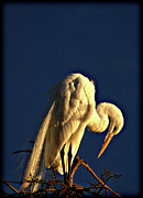 Pictures Photo Originals - Great Egret Praying for Sun by John Wright
