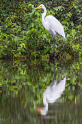 Giclée Fine Art Posters - Great Egret reflection Poster by Craig Lapsley