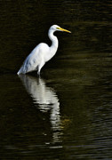 Great Birds Prints - Great Egret Reflection  Print by Saija  Lehtonen