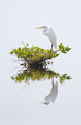 Framedart Prints - Great Egret Relection Print by Scott Helfrich