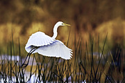 Egret Art - Great Egret by Rob Travis