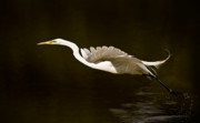 Great Egret Framed Prints - Great Egret Takeoff Framed Print by  Onyonet  Photo Studios