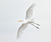 Flying Photos - Great Egret Taking Off by Bmse