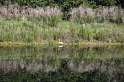 Reflection On Pond Prints - Great Egret Walk Print by Carol Groenen
