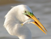 Catch Framed Prints - Great Egret With A Shad Framed Print by Robert Frederick