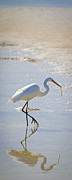 Feeding Birds Prints - Great Egret with prey Print by Patrick M Lynch