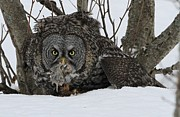 Sam Amato Prints - Great Gray Owl and Prey Print by Sam Amato