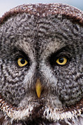 Owl On Head Framed Prints - Great Gray Owl Framed Print by Chad Graham