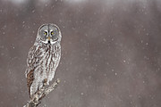 Falling Snow Posters - Great Gray Owl in Falling Snow Poster by Tim Grams