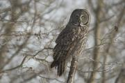 Descriptors Framed Prints - Great Gray Owl In Late Winter Forest Framed Print by Grambo Photography and Design Inc.