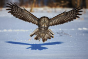 Jim Cumming Prints - Great Gray Owl ...in your face Print by Jim Cumming