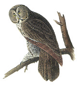Great Gray Owl Print by John James Audubon