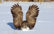 Jim Cumming Art - Great Gray Owl Lands by Jim Cumming