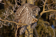Preening Prints - Great Gray Owl Preening Print by Tim Grams