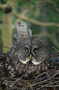 Frontal Metal Prints - Great Gray Owl Strix Nebulosa Parent Metal Print by Michael Quinton