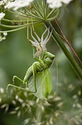 Instar Posters - Great Green Bush-cricket Poster by Bob Gibbons