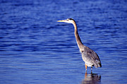 Gray Heron Framed Prints - Great Grey Heron Framed Print by Science Source