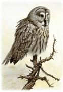 Great Drawings - Great Grey Owl by Dag Peterson