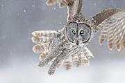 Grey Photo Framed Prints - Great Grey Owl in Snowstorm Framed Print by Scott  Linstead