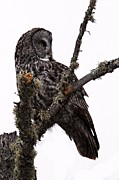 Owl Posters - Great Grey Owl Poster by Larry Ricker