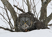 Sam Amato - Great Grey Owl