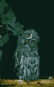 "\""great One\\\"" Digital Art Posters - Great Grey Owl Poster by Design Windmill"