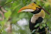 Hornbill Photos - Great Hornbill Buceros Bicornis Adult by Cyril Ruoso