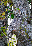 Barn Pen And Ink Photo Posters - Great Horned Owl Poster by Athena Mckinzie