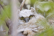 Isolated Digital Art Prints - Great Horned Owl Babies Owlets in Nest Print by Mark Duffy