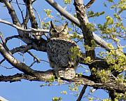 D Winston - Great Horned Owl
