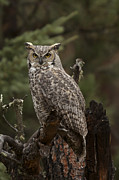 Needles Highway Prints - Great Horned Owl Print by Holst Photography