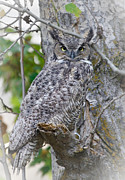 Barn Pen And Ink Photo Posters - Great Horned Owl II Poster by Athena Mckinzie