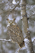 White Morph Prints - Great Horned Owl In Its Pale Form Print by Tim Fitzharris