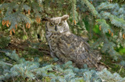 Crows Greeting Cards Prints - Great Horned Owl Print by James Steele