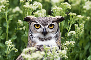 Owl Eyes Art - Great Horned Owl by Jeffrey Lepore and Photo Researchers
