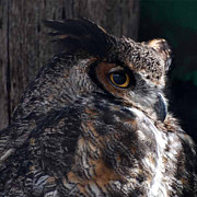Big Eyes Posters - Great Horned Owl Poster by Paul Ward