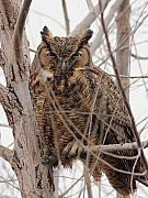 Owl Posters - Great Horned Owl Perched Poster by Wingsdomain Art and Photography