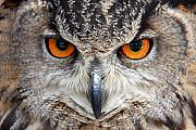 Pierre Leclerc Framed Prints - Great horned Owl Framed Print by Pierre Leclerc