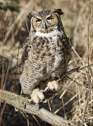 Great Horned Owl Framed Prints - Great Horned Owl Framed Print by Wade Aiken