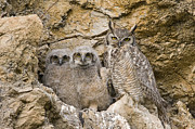 Owlet Photos - Great Horned Owl With Owlets In Nest by Sebastian Kennerknecht