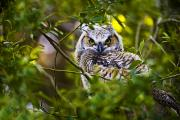 Owlet Photos - Great Horned Owlet by Richard Wear