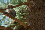 Ron Smith Posters - Great Horned Owlet Poster by Ron Smith