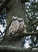 Usa Wildlife Posters - Great Horned Owls young Poster by John Greim