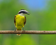 Flycatcher Prints - Great Kiskadee Print by Tony Beck