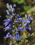 Blue Flowers Drawings - Great Lobelia Blues by Bruce Morrison