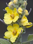 Great Mullein Plant Framed Prints - Great Mullein (verbascum Thapsus) Framed Print by Adrian Bicker