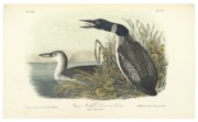Loon Paintings - Great North Diver Loon by John James Audubon