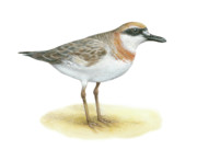 Great Drawings - Great Sandplover by Lionel Portier