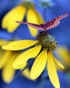 Susie Weaver Art - Great Spangled Fritillary on Yellow Coneflower by Susie Weaver