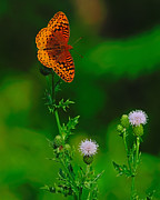 Spangled Posters - Great Spangled Fritillary Poster by Tony Beck